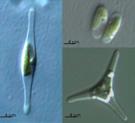 diatomea P. tricornutum