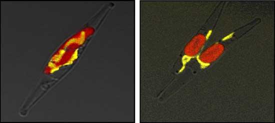 diatomea phaeodactylum tricornutum sobreexpresa proteina de urea