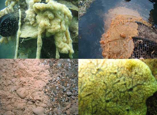 Vómito de roca (Didemnum vexillum)