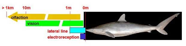 distancias de los diferentes sentidos del tiburón