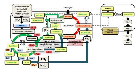 esquema del ciclo de la urea en diatomeas marinas