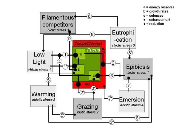 efectos del estres e interacciones en el alga focus