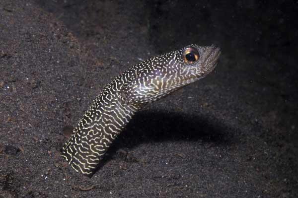 Heteroconger (anguila de jardín)