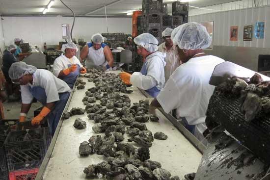 industria ostrera en Louisiana, EE.UU.
