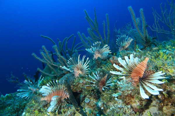 invasión de peces león en un arrecife