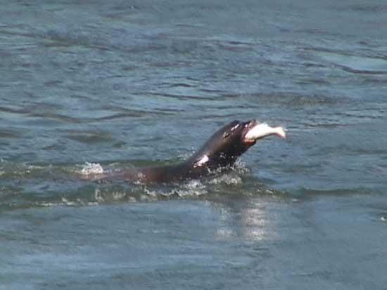 león marino pesca salmón en la presa de Bonneville, río Columbia EE.UU.