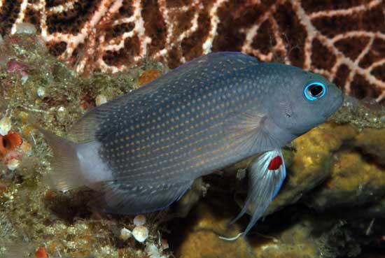 Manonichthys adulto