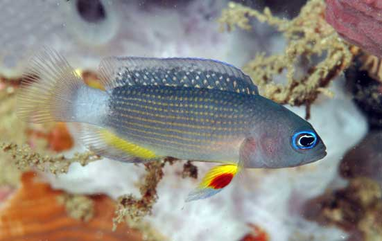 Manonichthys juvenil