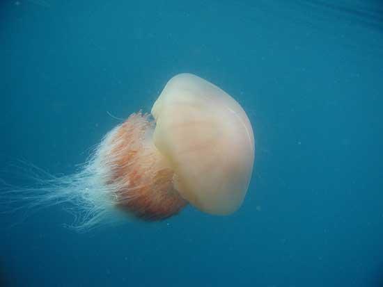 medusa nomuna (Nemopilema nomurai)