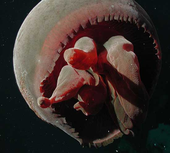 medusa Tiburonia gran roja