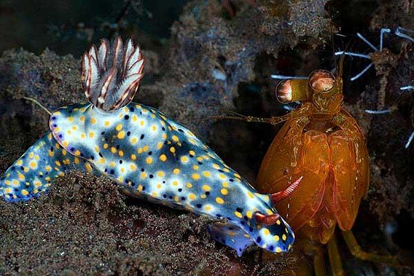 nudibranquio y camarón mantis