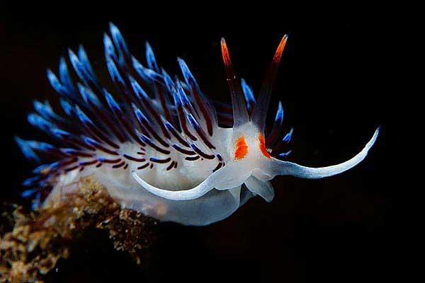 nudibranquio (Cratena peregrina)