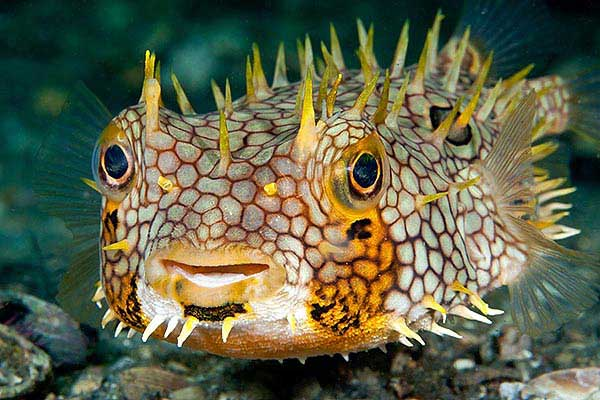 pez globo (Chilomycterus antillarum)