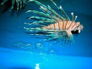un pez león en 2005