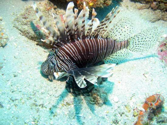 pez león (Pterois mile)