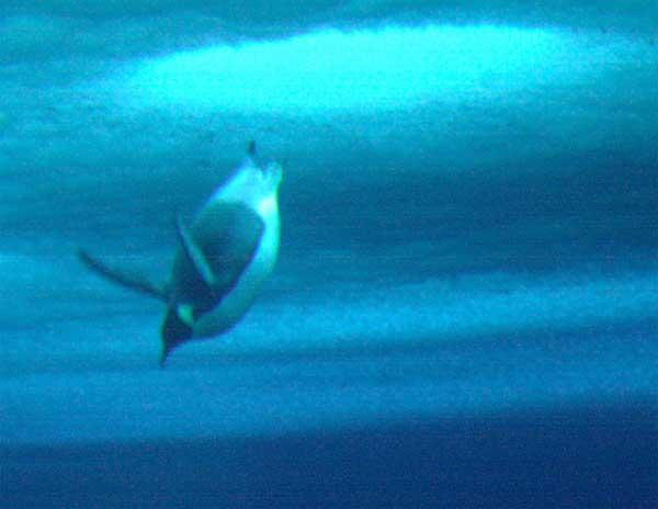 pingüino emperador inicia una inmersión