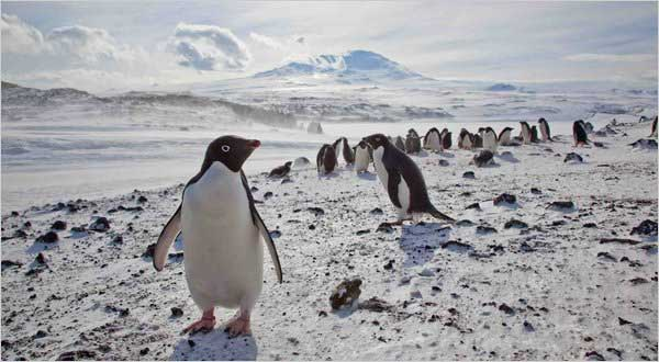 pingüinos Adelia en cabo Royds, Antártida