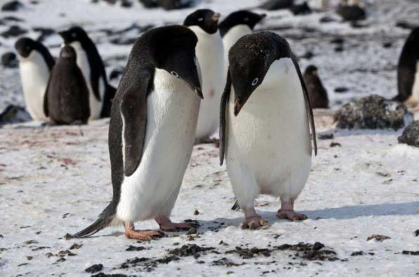 pareja de pinguinos Adelia