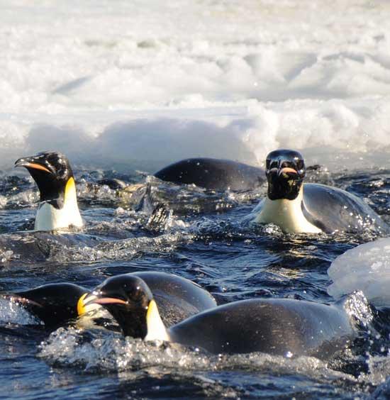 pingüinos emperador entre el hielo