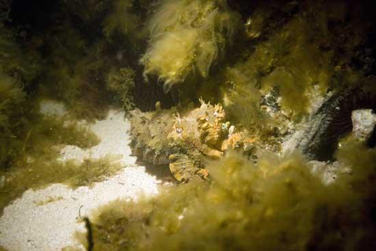 sepia australiana en un camuflaje de noche en otro hábitat
