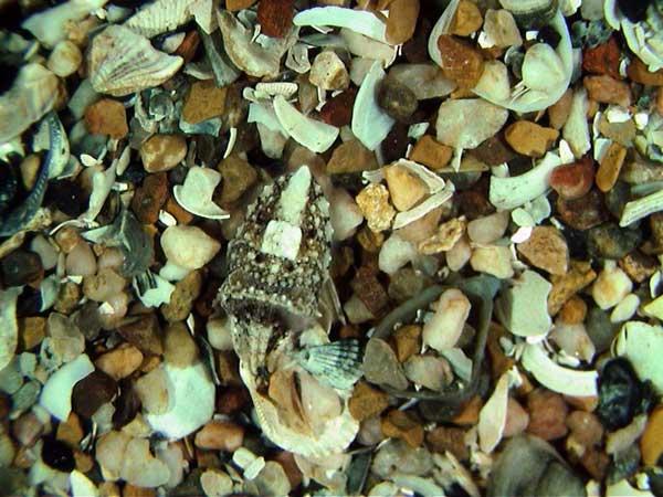 una sepia camuflada entre conchas y piedras