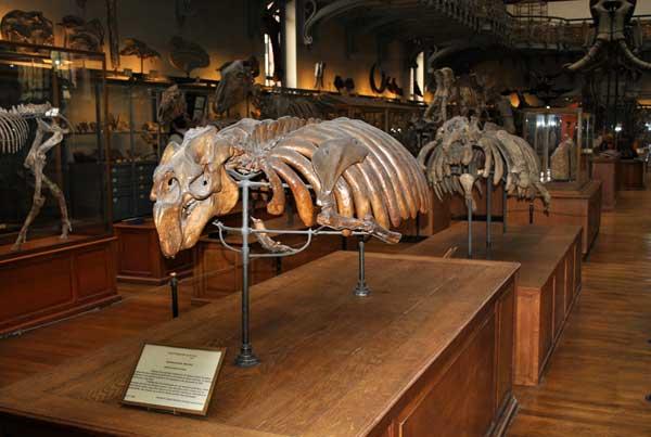 fósil de sirenio (Halitherium schinzi)