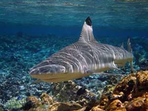 tiburón blanco de arrecife
