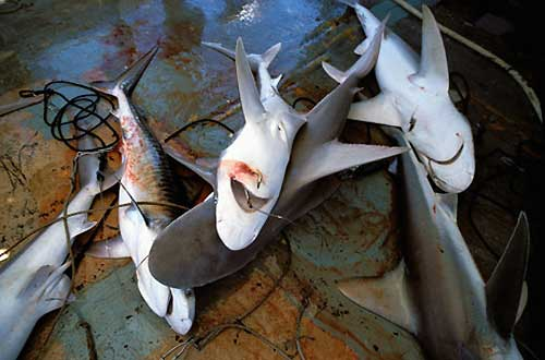 tiburones atrapados en un palangre
