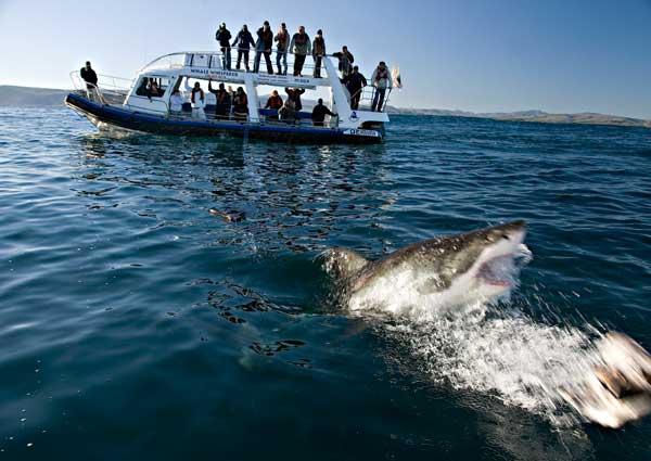 turismo del gran tiburón blanco