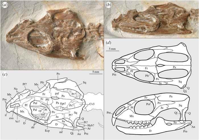 Vadasaurus herzogi, cabeza