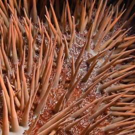 estrella de mar corona de espinas (Acanthaster planci), detalle espinas