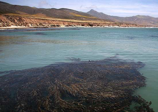 alga marina gigante quelpo