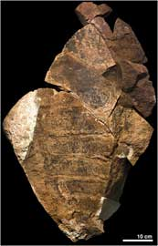 fósil del anomalocarídido descubierto