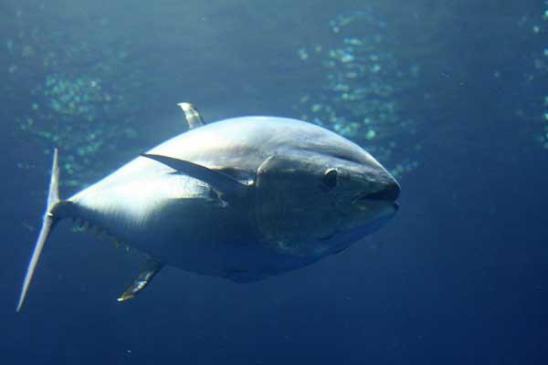 atún rojo del Pacífico