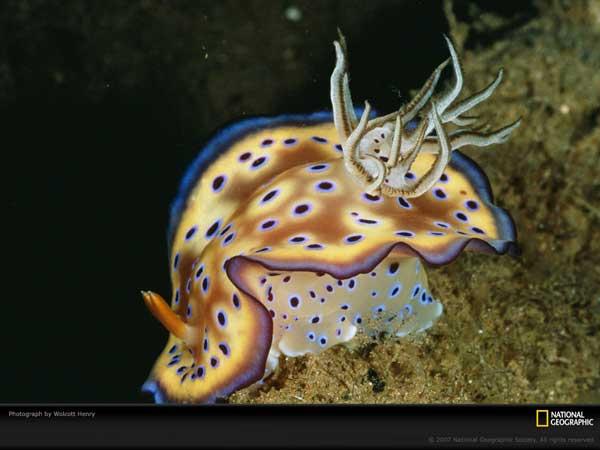 babosa mar, nudibranquio
