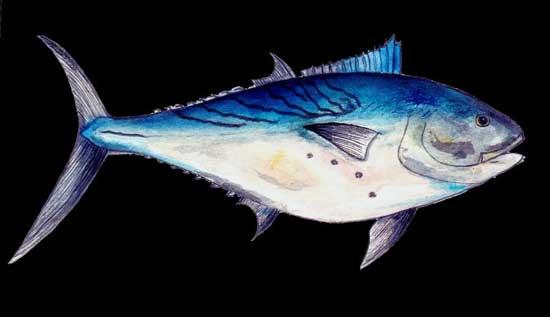 bacoreta (Euthynnus alletteratus)