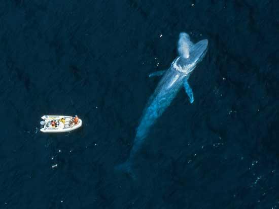 ballena azul comparada con un barco