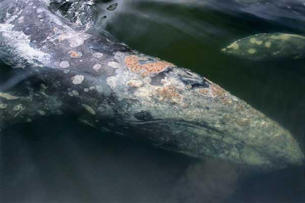 Ballena gris en Tofino, Canadá