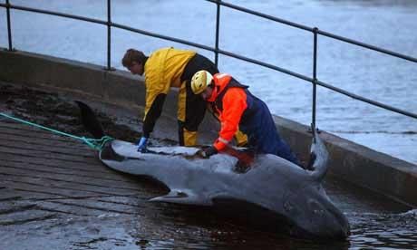 ballena piloto varada encontrada muerta en Escocia