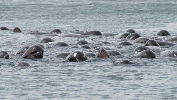 ballenas piloto en lago marino de las Islas Hébridas