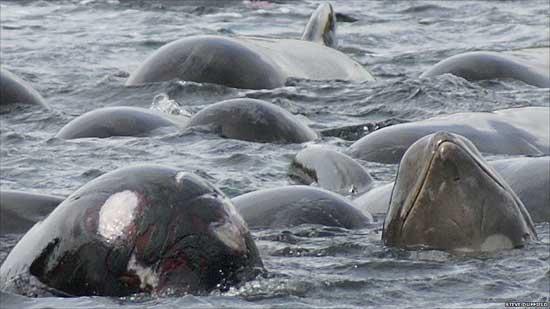 ballenas piloto en un lago marino de las Islas Hébridas