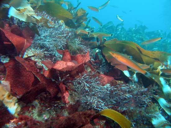 bosque de alga marina gigante quelpo