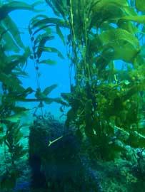 bosque de algas marinas gigantes