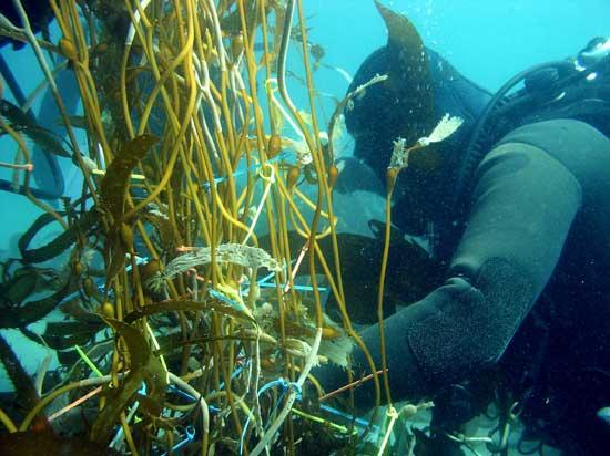 buzo toma medidas de algas gigantes