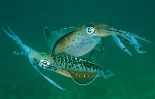 calamar de arrecife del Caribe (Sepioteuthis sepioidea)