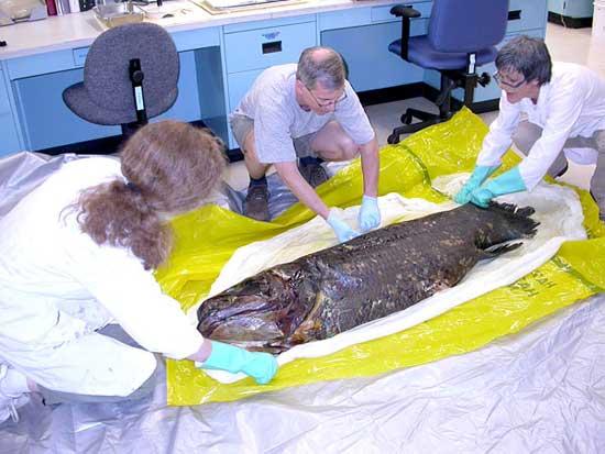 pez celacanto (Latimeria chalumnae) preparado para conservación
