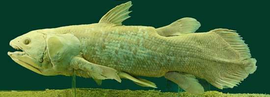 pez celacanto (Latimeria chalumnae) disecado
