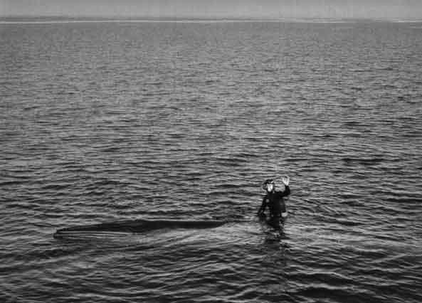 Chuck Nicklin montando a una ballena