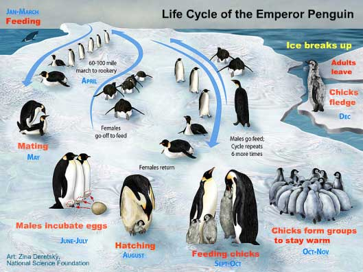 ciclo de vida del pingüino emperador