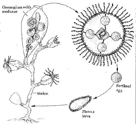 ciclo de vida de una hidromedusa cnidaria
